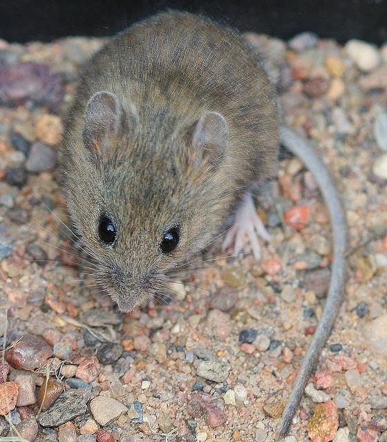 western harvest mouse.jpg