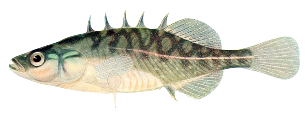 Brook Stickleback ( Culaea inconstans  ) - image from  Wikipedia
