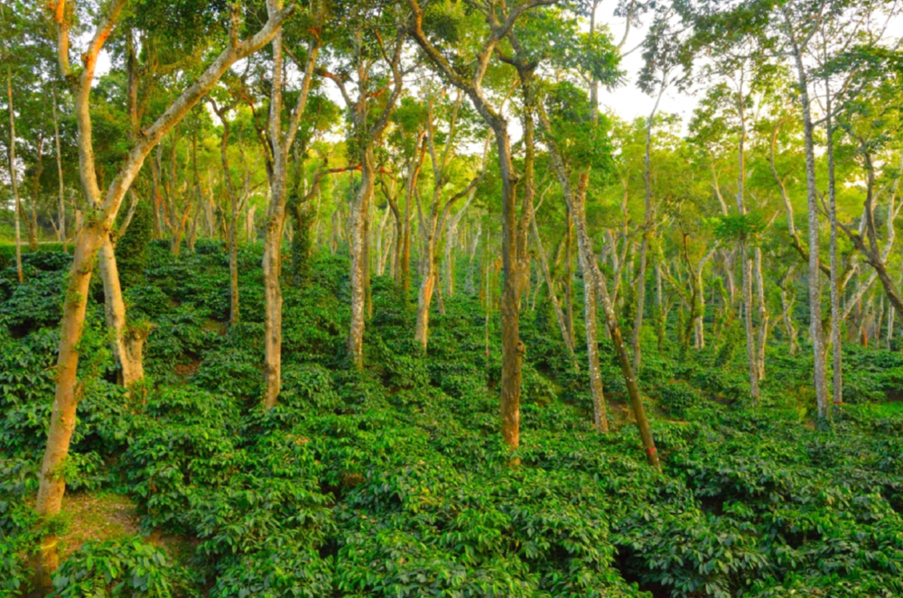 Sustainable, bird-friendly coffee agro-forestry.