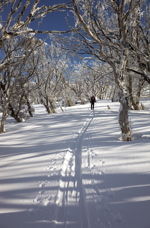 Gav Skinning up to South Rams Head through the snow gums at Dead Horse Gap