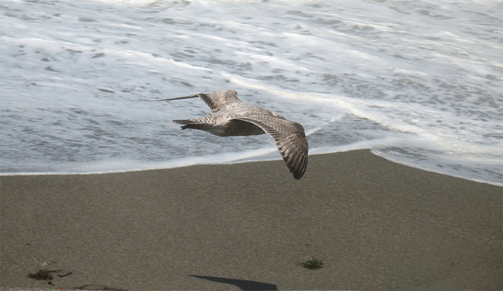 seagull at sonoma coast state beach, bodega dunes