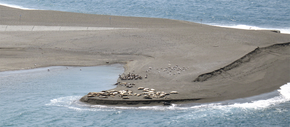 seals basking in the sun at Goat Rock Beach, Jenner