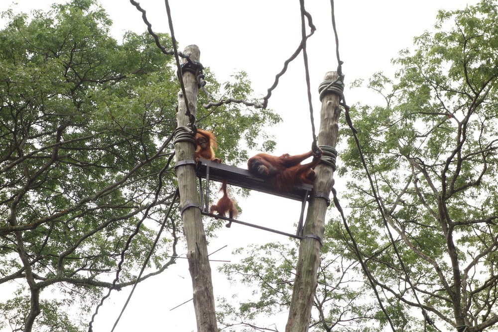 Family of orangutangs lounging in the sun