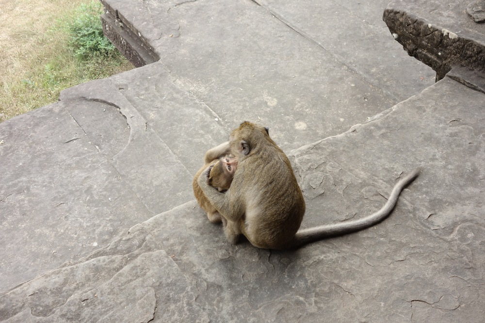 Playful monkeys at Angkor Wat