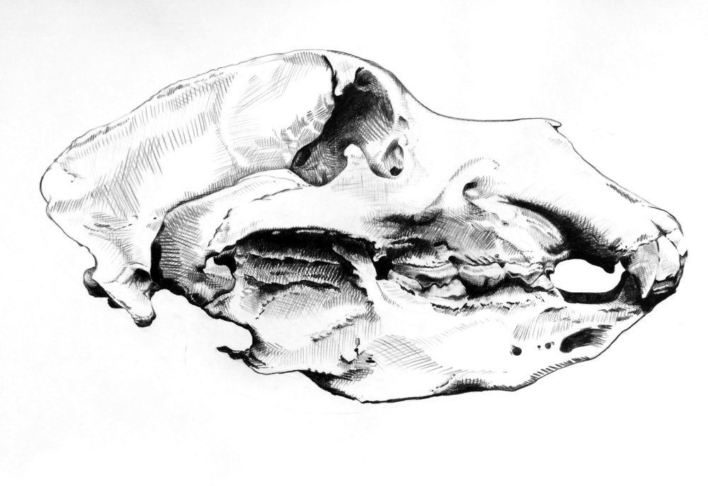 "California Grizzly Bear Skull, Extinct 1924   Grease pencil drawing on paper  24"" x 36""        2017"