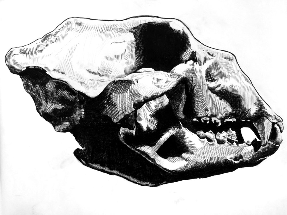 "Giant Short-Faced Bear Skull, Extinct 9,000BC   Grease pencil drawing on paper  24"" x 36""        2017"