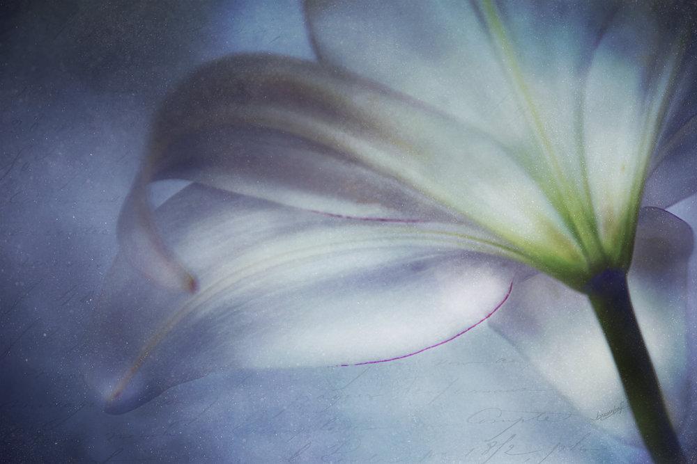 BRosenleaf - The Lily.jpg