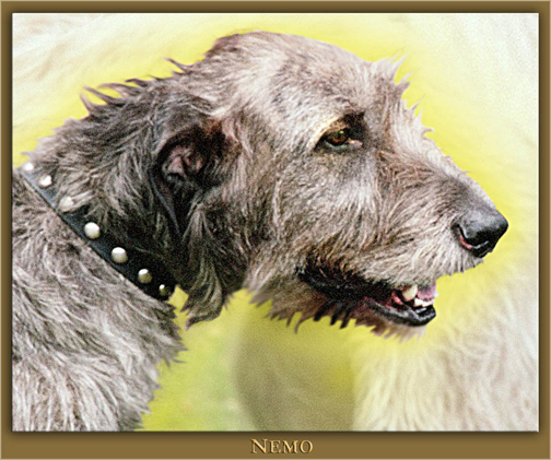 This is a photo of my first Irish Wolfhound, my heart hound Nemo.