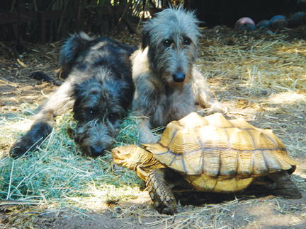 At home they would have LIKED to play with Norman, the Geochelone sulcata tortoise, but were somewhat baffled by him.