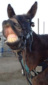 My mule Tobe