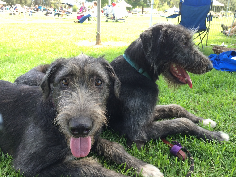 Dervla & Murphy at an AKC Irish Wolfhound Specialty.