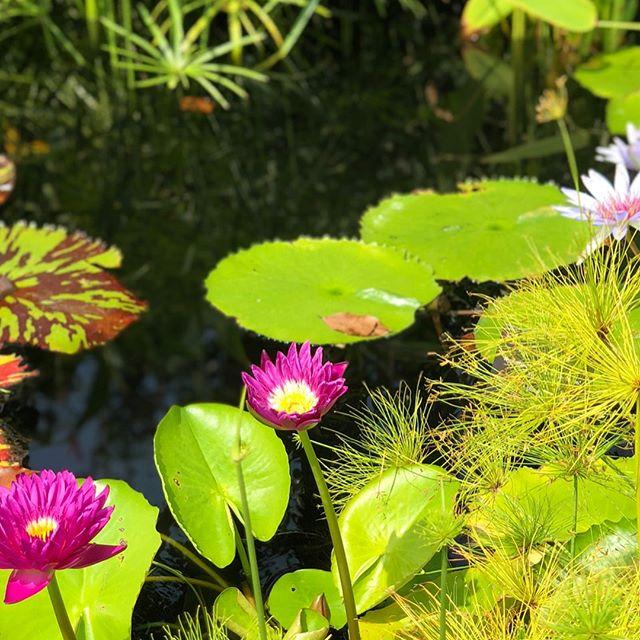 Lotus Lotus 🙏🏽 #thiswilldo #dbsuxd