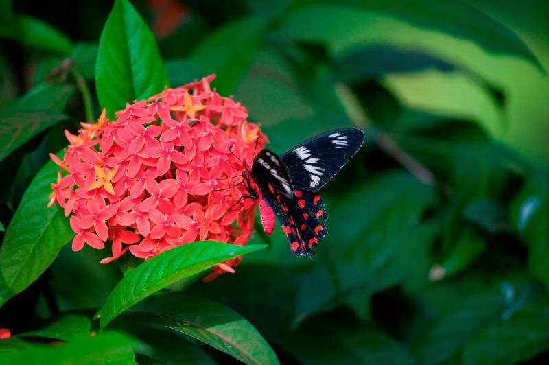 Crimson Rose, Goa, India