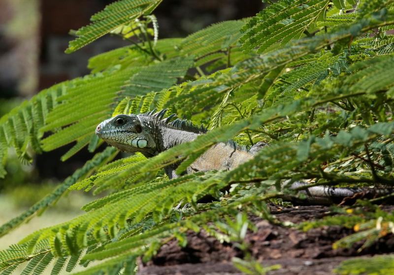 Iguana, French Guiana
