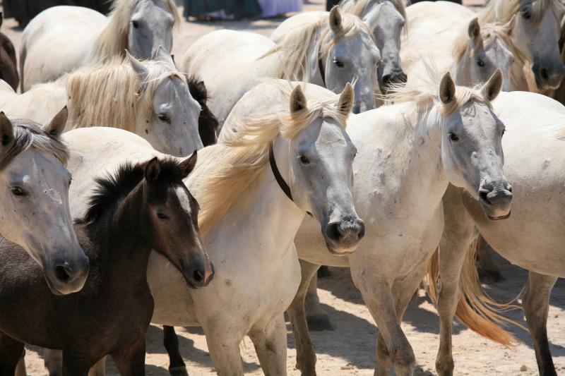 Wild Horse, Camargue, France