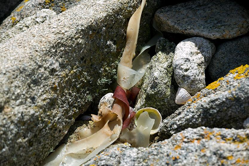 Poésie des algues de Guissény © SD