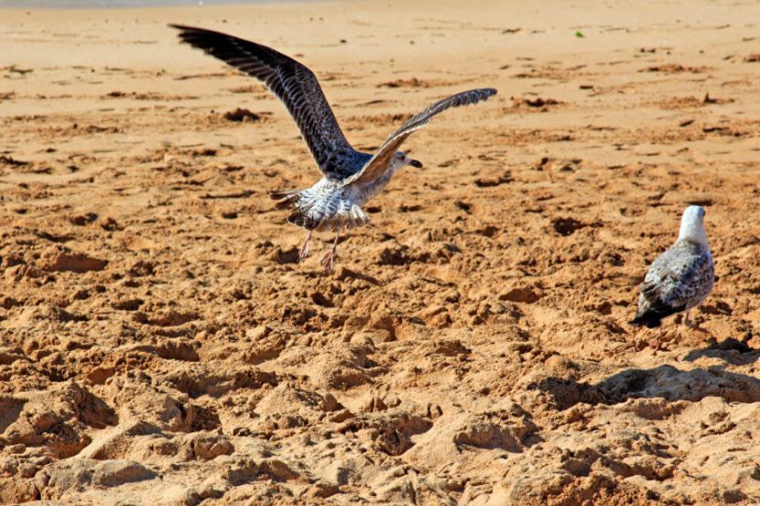 Petits voleurs sur le plage d'Oualidia