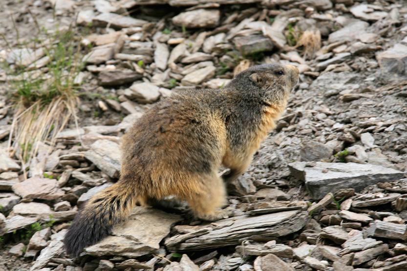 Marmote dnas la vallée Agnel