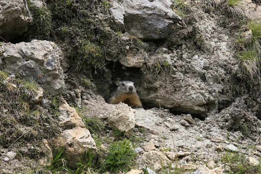 Marmote dans la vallée Agnel