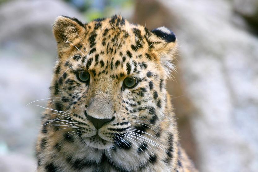 Léopard d'amour au Zoo de Mulhouse