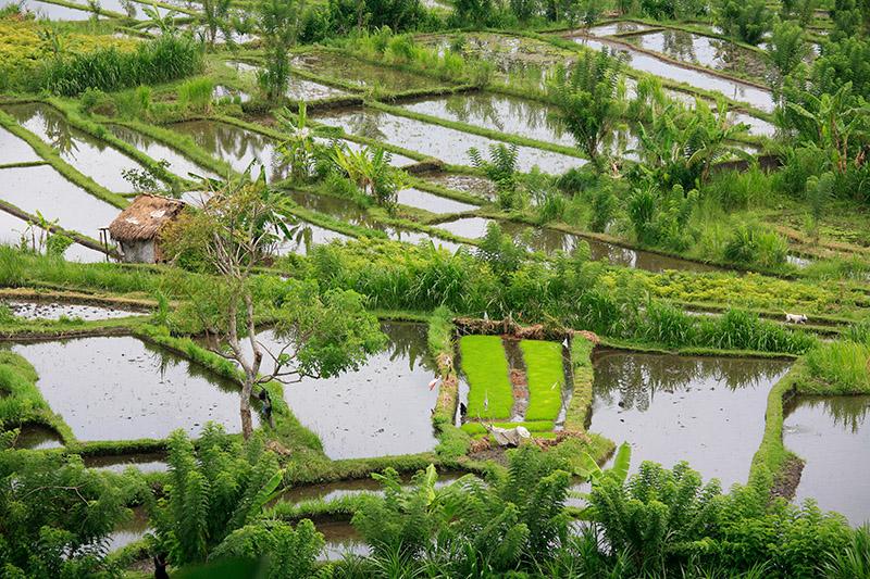 Mozaique des rizières balinaises