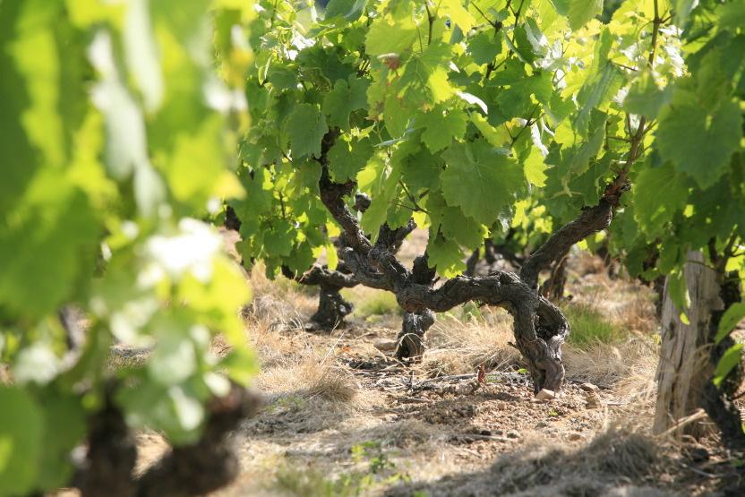 Les vignes de gamay à Fleurie