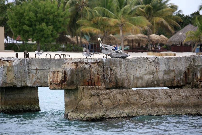 Pélicans sur l'île Saona