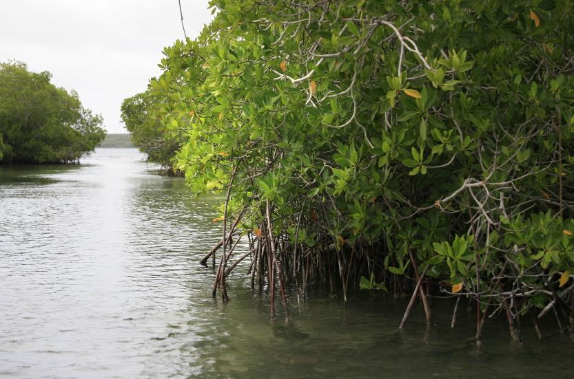 Mangroves à la pointe sud du Parque Nacional del Este