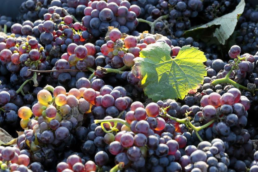 de la vigne au pressoir...