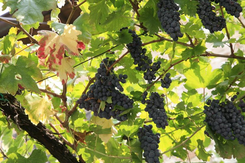 Un ciel de raisins muris au soleil