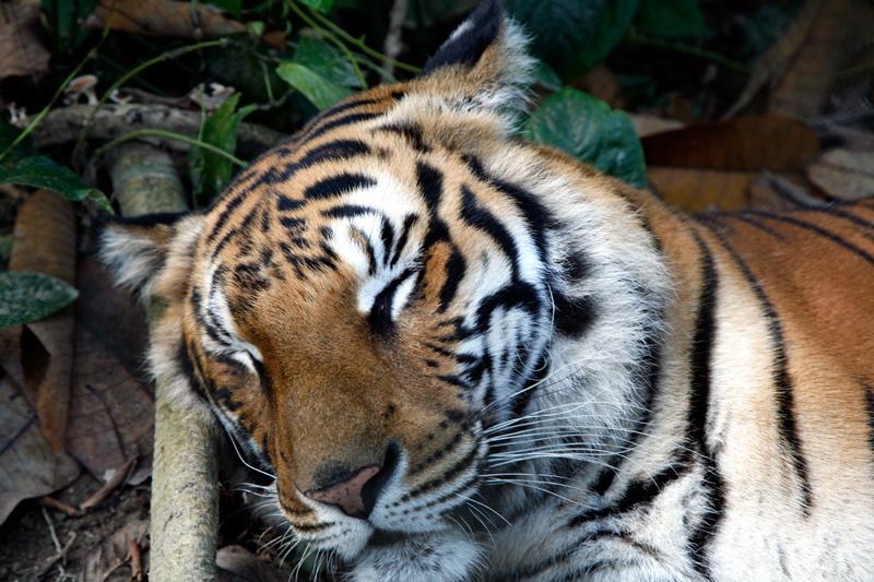 Tigre au Tat Kuang Si Rescue (Bear) Centre