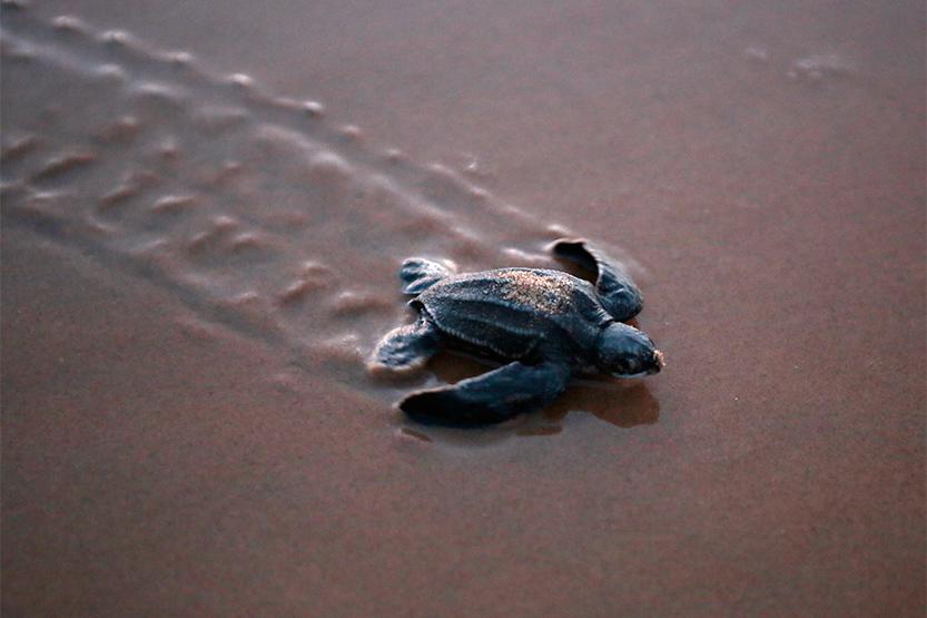 Des centaines de bébés tortues Luth éclosent...