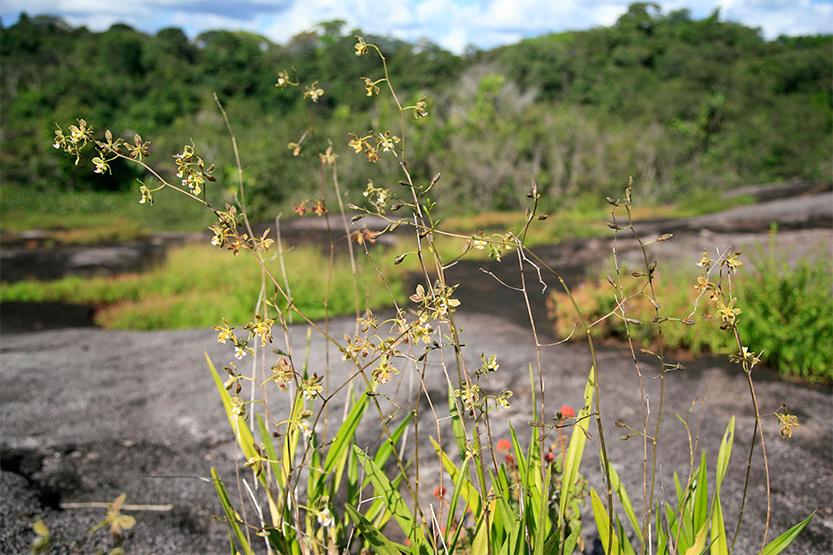 Orchidée sauvage sur l'inselberg (Montagne île)
