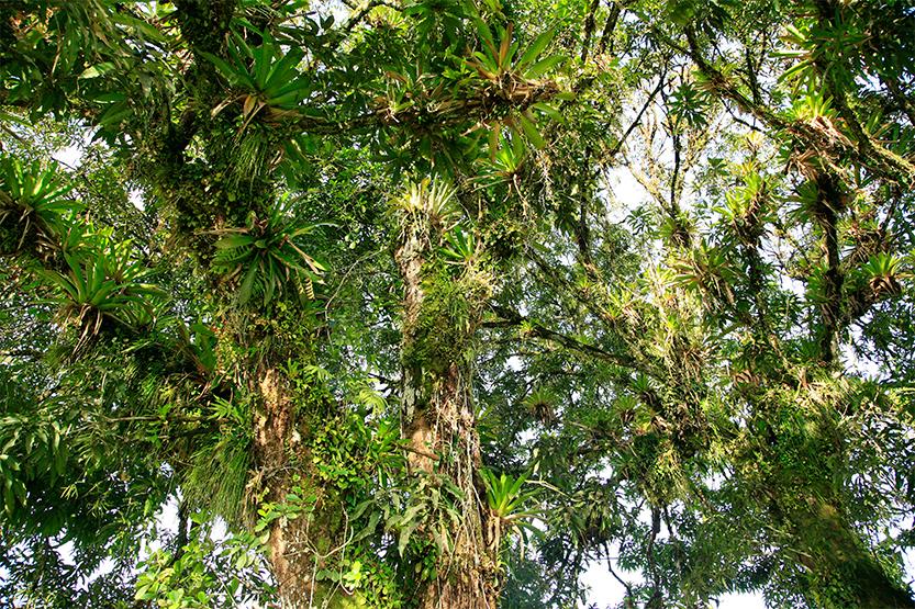 Superbes épiphytes autour d'un grand arbre à Roura