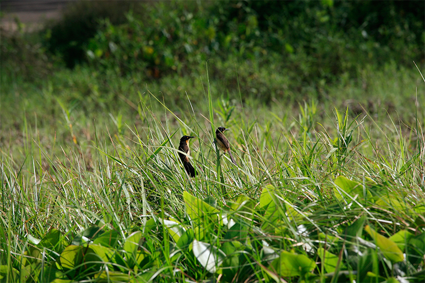 Oiseaux de toutes sortes dans les marais de Kaw