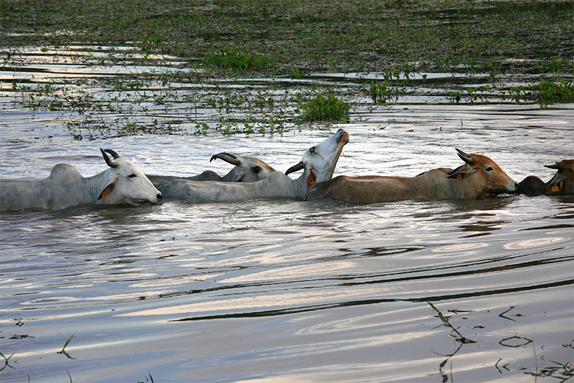 Le bain des zébus dans le marais de Kaw
