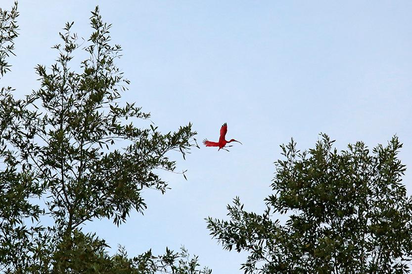 Ibis rouge dans l'embouchure du Mahony