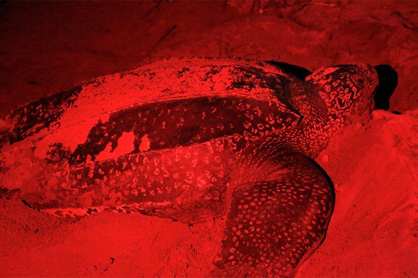 Ponte la nuit d'une tortue luth à Yalimapo