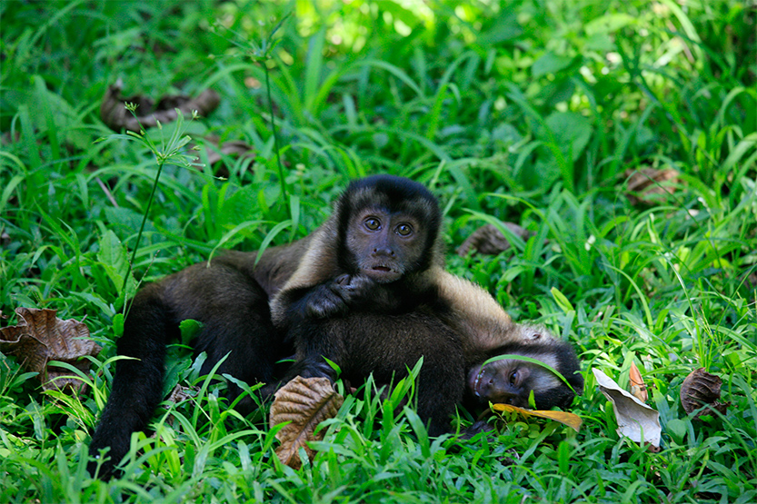 Macaque brun ou plutôt 'Capucin Cebus Apella'