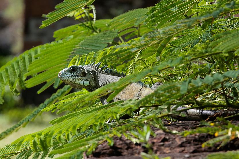 Camouflage d'iguane au soleil