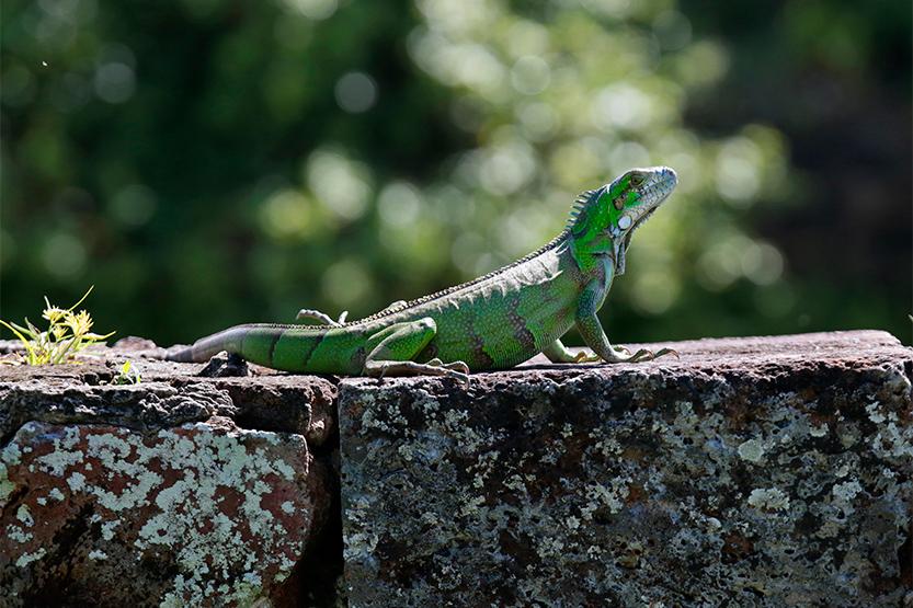 Iguane sur l'île Royale