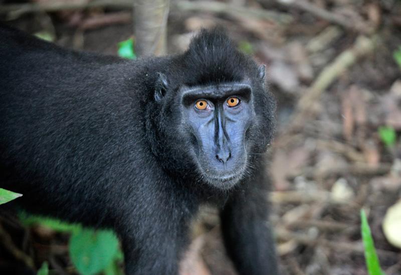 Macaque noir, Tangkoko NP © JJ Serol