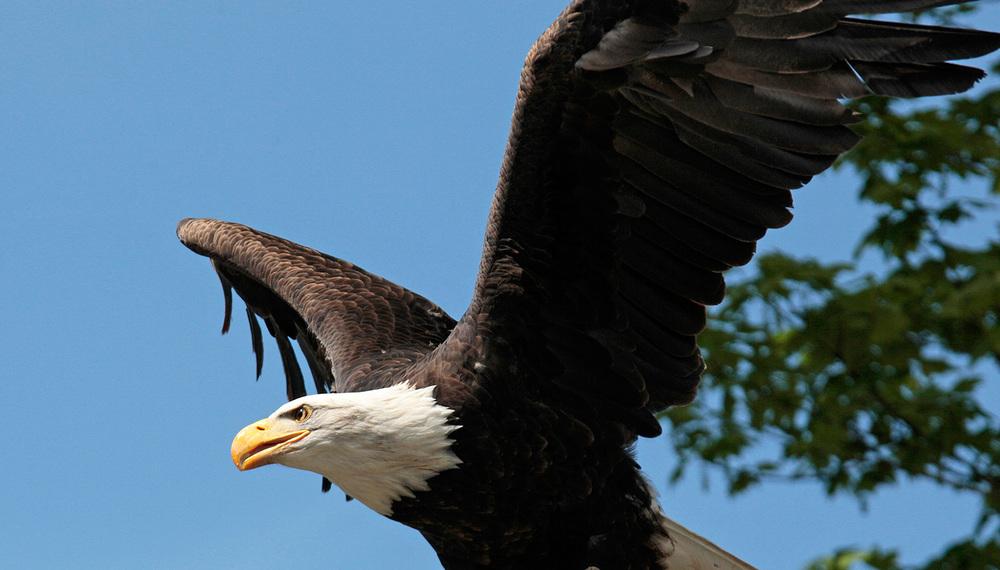 Royal, l'aigle en vol