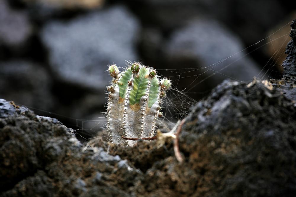 Végétation 'volontaire' sur la terre de granite de Lanzarote