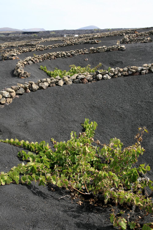 Vignobles au cœur des terres de Lanzarote