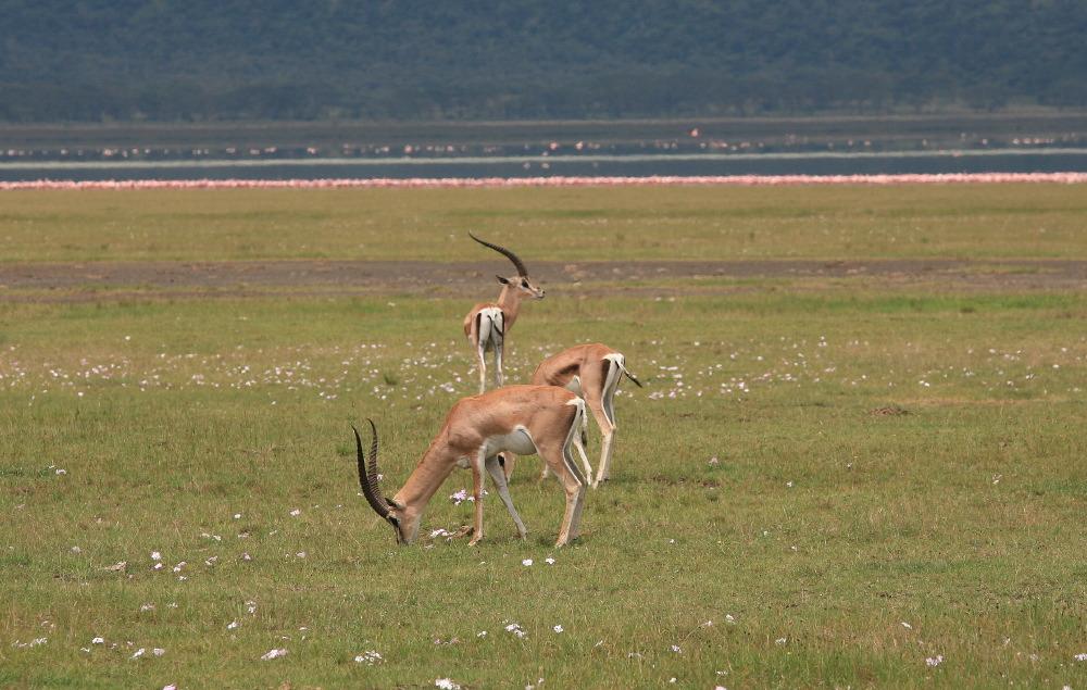 Gazelles de Grant (Nanger granti)