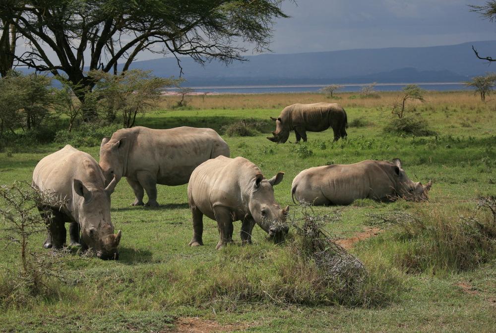 Le choc des rhinos à Nakuru NP