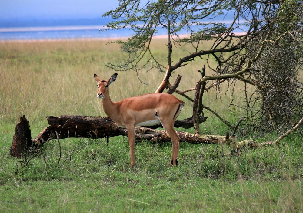 Petite gazelle de Grant's