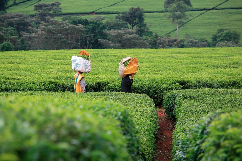 Cueilleurs de thé, Unilever 's Chericho Tea Estate