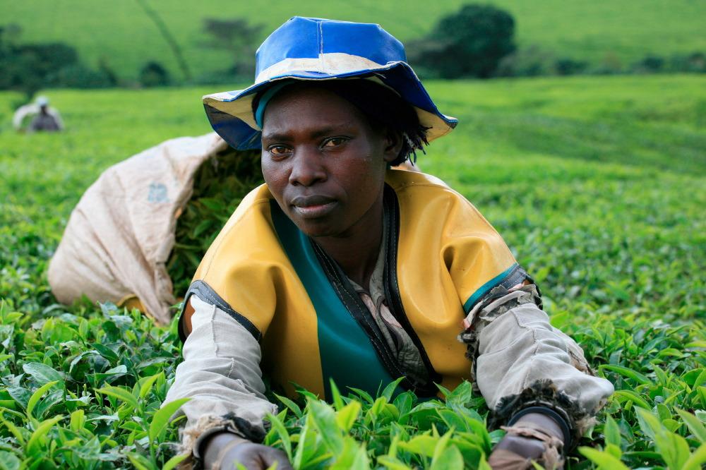 Cueilleuse de thé, Unilever 's Chericho Tea Estate